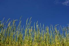 Ricefield bajo el cielo azul, Nepal Imagen de archivo