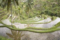ricefield bali Стоковая Фотография RF