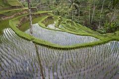 ricefield bali Стоковое Изображение RF
