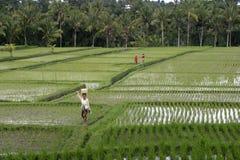 ricefield bali Стоковое Изображение