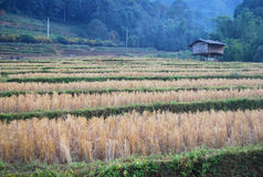 Ricefield. Big ricefield with hut at Maklangluang vilage, Chiangmai Stock Photography