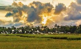 Ricefield con puesta del sol hermosa Imagen de archivo libre de regalías