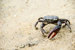 Ricefield crabs walking on the ground in rainy season. Royalty Free Stock Images