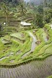 Ricefield de Bali Foto de Stock Royalty Free