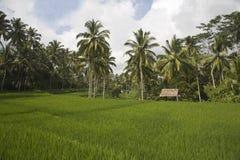Ricefield de Bali Imagens de Stock Royalty Free