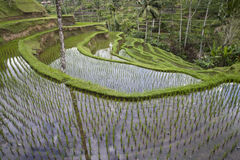 Ricefield de Bali Image libre de droits