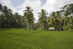 Ricefield del Bali Immagini Stock Libere da Diritti