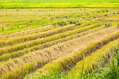 Ricefield efter skörd Royaltyfria Foton