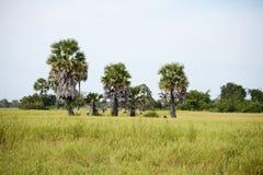 Ricefield en palmen stock afbeelding