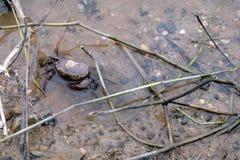 Ricefield fångar krabbor den bättre maten för skörd från Thailand Arkivfoto