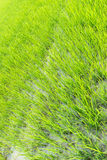 Ricefield. Green fields in the growing season Stock Images