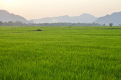 Ricefield Royalty Free Stock Image