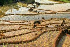 Ricefield indonesio Imágenes de archivo libres de regalías