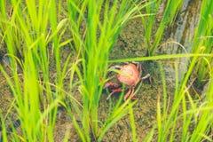Ricefield kraba Słodkowodny krab w Rice pola Thailand zieleni ri zdjęcia royalty free
