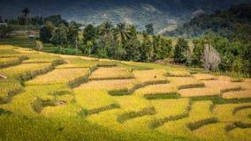 Ricefield med berg Royaltyfria Bilder