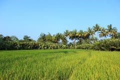 Ricefield med kokospalmer Arkivfoto