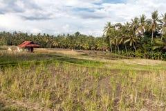 Ricefield nära Ubud Arkivbilder