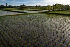 Ricefield nära Ubud Arkivfoto