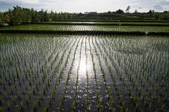 Ricefield nära Ubud Arkivfoton