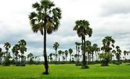 Ricefield and palms Royalty Free Stock Photos