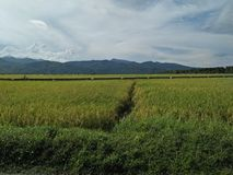 Ricefield provincial imagem de stock royalty free