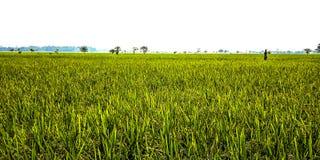 Ricefield stock photo