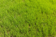 Ricefield Stock Images