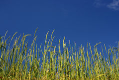 Ricefield under blue sky,Nepal Stock Image