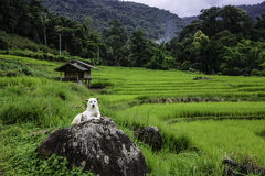 Ricefield and waiting. Royalty Free Stock Photo