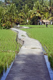 Ricefield Walkway. A meandering raised concrete walkway through lush rice fields in Ubud, Bali stock photos