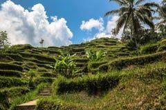 Ricefields близко к Ubud, Бали стоковое изображение