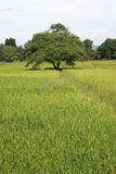 Ricefields Таиланд wirh ландшафта стоковое изображение