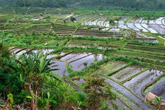 Ricefields royaltyfria foton