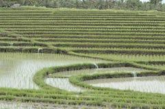 ricefields Royaltyfri Bild