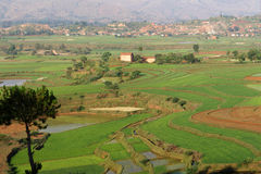 Ricefields in Betafo, Madagascar Stock Image