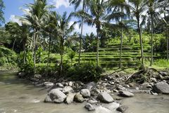 Ricefields colgantes delante del río, terrazas de Sayan, Ubud, Bali, Indonesia Imágenes de archivo libres de regalías