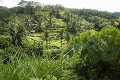 Ricefields colgantes, terrazas de Sayan, Ubud, Bali, Indonesia Imagen de archivo libre de regalías