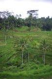 Ricefields de côte dans Bali photos libres de droits