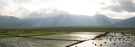 Ricefields de Cara con luz del sol Imagen de archivo