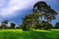 Ricefields de Surin foto de stock