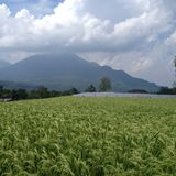 Ricefields on East Java Royalty Free Stock Images