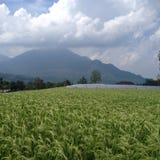Ricefields en Java Oriental Imágenes de archivo libres de regalías