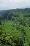 Ricefields with a little river. It's a landscape of Bali island : lots of terrace ricefields and palms with a little river stock image