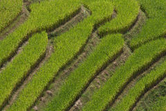 Ricefields Stock Photo