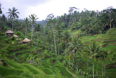 Ricefields and palms on mountains in Bali. This is a view of traditional Balinese ricefields made in terrace royalty free stock image