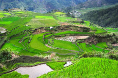 Ricefields in Philippines Royalty Free Stock Photo