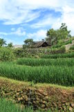 Ricefields in Vietnam Royalty Free Stock Photos
