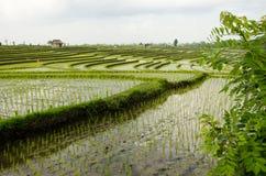 RiceFieldsBali1 stockfotos