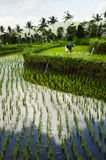 Rice Fields on Bali, Indonesia Stock Images