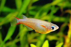 Ricefish Royalty Free Stock Image